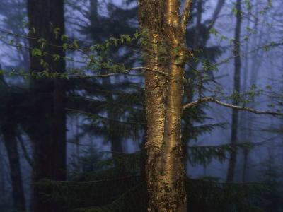 Birch Tree in a Foggy Forest at Twilight-Raymond Gehman-Photographic Print