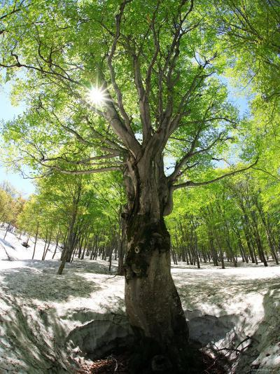 Birch Tree--Photographic Print