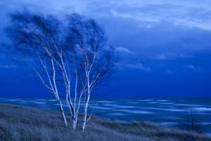 Birch Trees Along Lake Michigan at Dusk