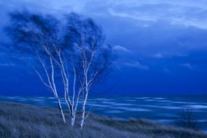Birch Trees Along Lake Michigan at Dusk