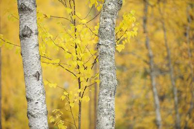 https://imgc.artprintimages.com/img/print/birch-trees-betula-verrucosa-or-pubescens-oulanka-finland-september-2008_u-l-q10oga60.jpg?p=0