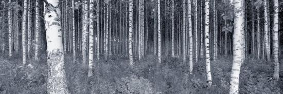 Birch Trees in a Forest, Finland--Photographic Print