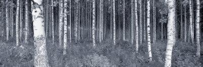 https://imgc.artprintimages.com/img/print/birch-trees-in-a-forest-finland_u-l-old6m0.jpg?p=0