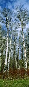 Birch Trees in a Forest, Us Glacier National Park, Montana, USA