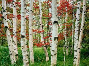 Birch trees in autumn, Acadia National Park, Maine, USA