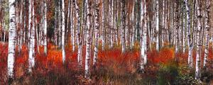 Birch Trees in Red