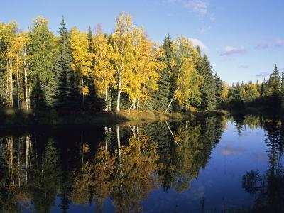 Birch Trees Reflected in a Pond in the Fall-Rich Reid-Photographic Print