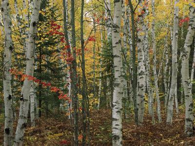 Birch Trees with Autumn Foliage-Medford Taylor-Photographic Print