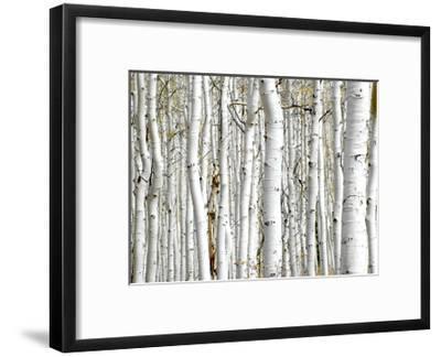 Birch Wood-PhotoINC-Framed Art Print
