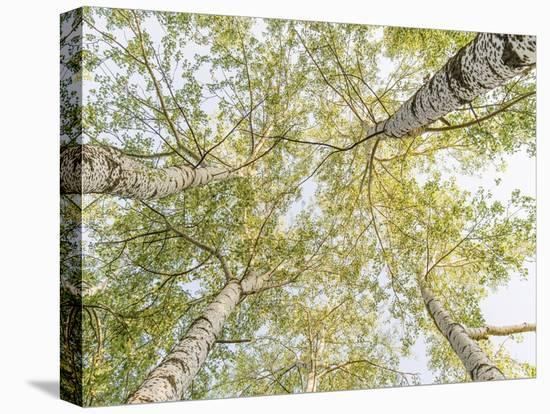 Birch woods in spring-Pangea Images-Stretched Canvas Print