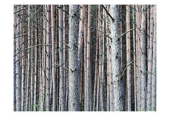 Birch Woods-Sandro De Carvalho-Art Print