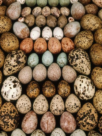 Bird Egg Collection, Western Foundation of Vertebrate Zoology, Los Angeles, California-Frans Lanting-Photographic Print