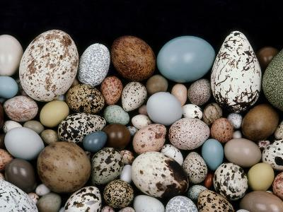 Bird Egg Diversity, Western Foundation of Vertebrate Zoology, Los Angeles, California-Frans Lanting-Photographic Print