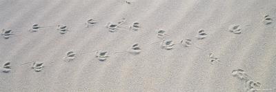 Bird Footprints on the Sand, Australia--Photographic Print