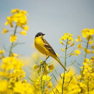 Bird in Yellow Flowers, Rapeseed-belu gheorghe-Photographic Print