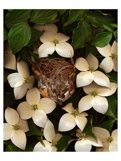 Bird nest kousa dogwood--Art Print