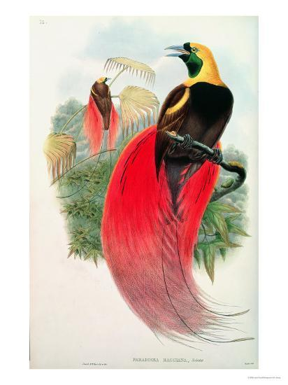 Bird of Paradise, Engraved by T. Walter-John Gould-Giclee Print