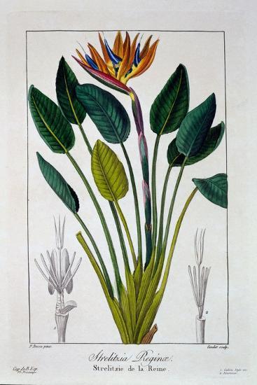 Bird of Paradise, or Crane Flower, 1836-Pancrace Bessa-Giclee Print