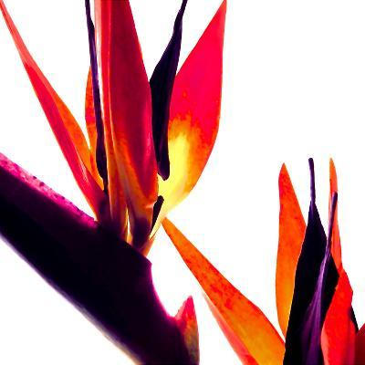 Bird of Paradise VI-Monika Burkhart-Photographic Print