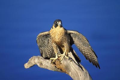 Bird of Prey--Photographic Print