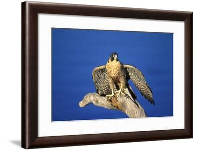 Bird of Prey--Framed Photographic Print