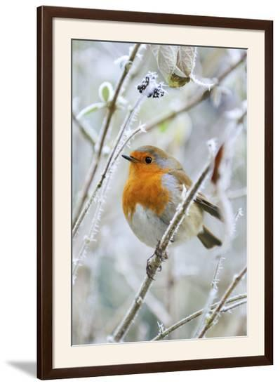 Bird Robin in Frosty Setting--Framed Photographic Print