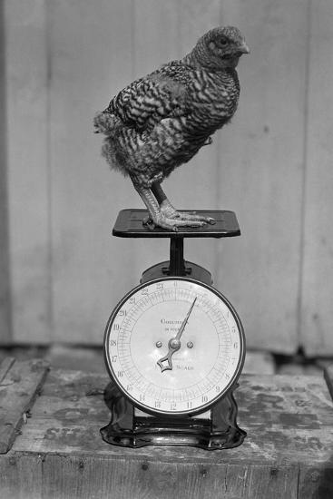 Bird Standing on Weight Scale--Photographic Print