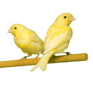 Bird Two Canaries on Perch