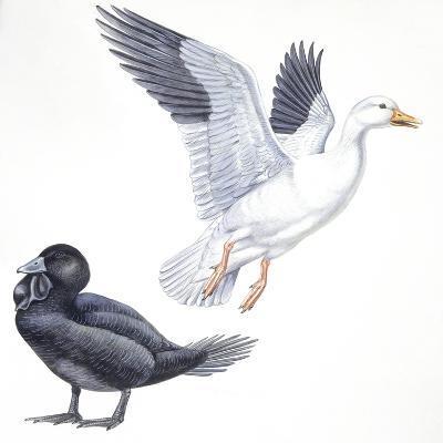 Birds: Anseriformes, Snow Goose (Chen Caerulescens) and Musk Duck (Biziura Lobata)--Giclee Print