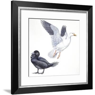 Birds: Anseriformes, Snow Goose (Chen Caerulescens) and Musk Duck (Biziura Lobata)--Framed Giclee Print