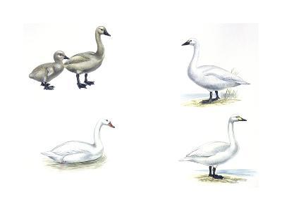 Birds: Anseriformes--Giclee Print