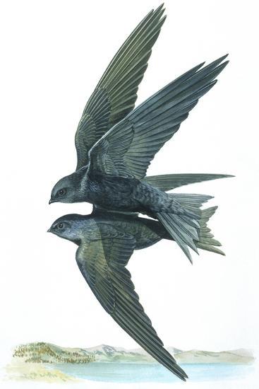 Birds: Apodiformes, Common Swifts (Apus Apus) Mating--Giclee Print