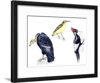 Birds: California Condor