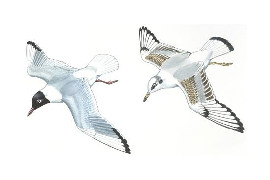 Birds: Charadriiformes, Black-Headed Gulls (Chroicocephalus Ridibundus), Adult and Young--Giclee Print
