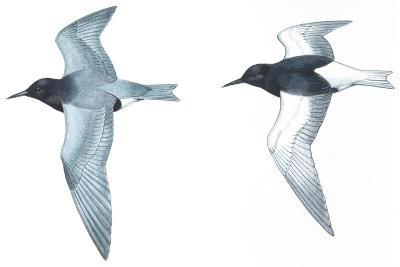 Birds: Charadriiformes: Black Tern--Giclee Print