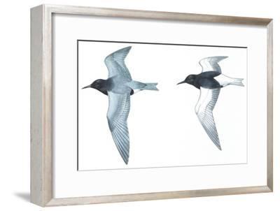 Birds: Charadriiformes: Black Tern