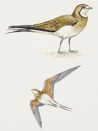 Birds: Charadriiformes, Collared Pratincole, (Glareola Pratincola)--Giclee Print
