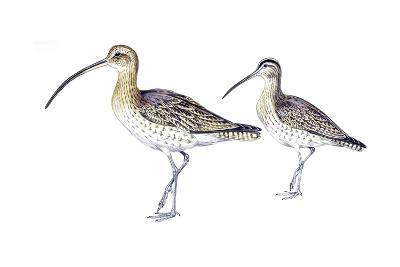 Birds: Charadriiformes, Eurasian Curlew (Numenius Arquata) and Whimbrel (Numenius Phaeopus)--Giclee Print