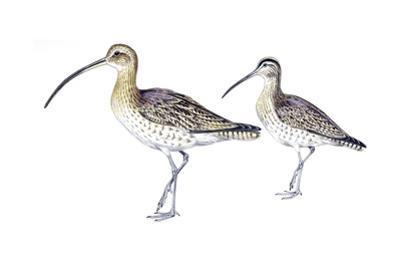 Birds: Charadriiformes, Eurasian Curlew (Numenius Arquata) and Whimbrel (Numenius Phaeopus)