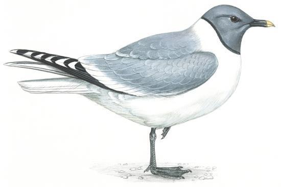 Birds: Charadriiformes, Sabine's Gull (Xema Sabini)--Giclee Print