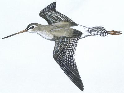 Birds: Charadriiformes, Spotted Redshank (Tringa Erythropus)--Giclee Print