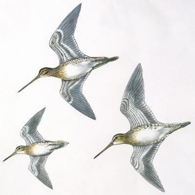 Birds: Charadriiformes--Giclee Print