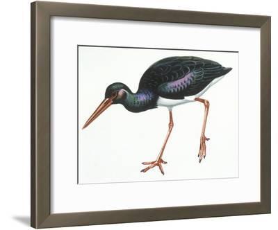 Birds: Ciconiiformes, Black Stork (Ciconia Nigra)