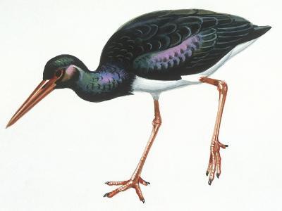 Birds: Ciconiiformes, Black Stork (Ciconia Nigra)--Giclee Print