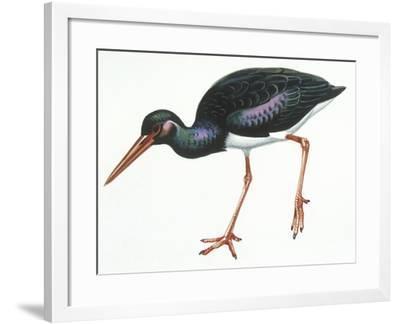 Birds: Ciconiiformes, Black Stork (Ciconia Nigra)--Framed Giclee Print