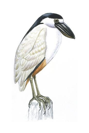 Birds: Ciconiiformes, Boat-Billed Heron (Cochlearius Cochlearius)--Giclee Print