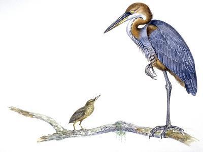 Birds: Ciconiiformes, Goliath Heron (Ardea Goliath)--Giclee Print