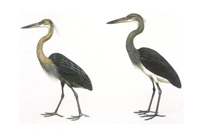 Birds: Ciconiiformes, Great-Billed Heron (Ardea Sumatrana), White-Bellied Heron (Ardea Insignis)--Giclee Print