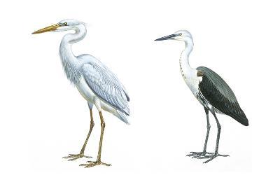 Birds: Ciconiiformes, Great Blue Heron (Ardea Herodias), White-Necked Heron (Ardea Pacifica)--Giclee Print