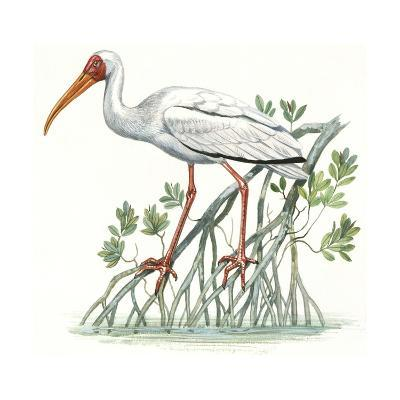 Birds: Ciconiiformes, Milky Stork, (Mycteria Cinerea)--Giclee Print